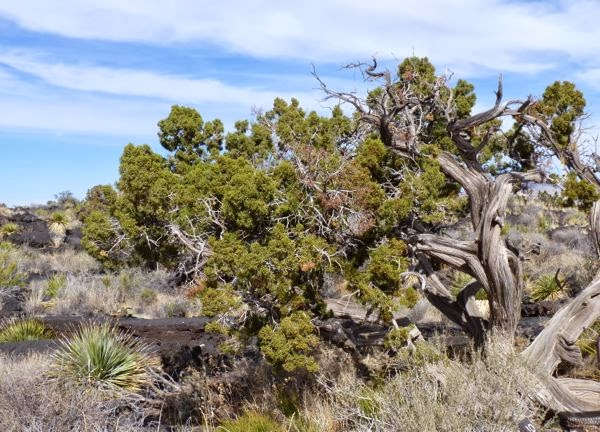 Gnarly old tree