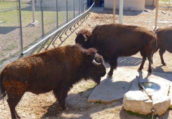 Two bison in a zoo