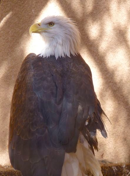 Bald eagle in captivity