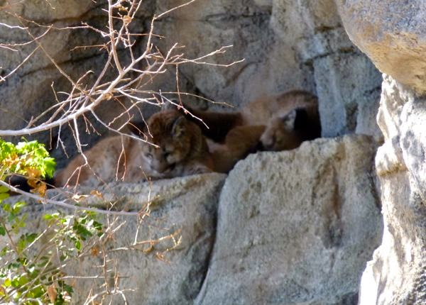 Pumas on a ledge