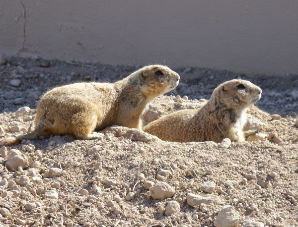 Two prairie dogs on a mound