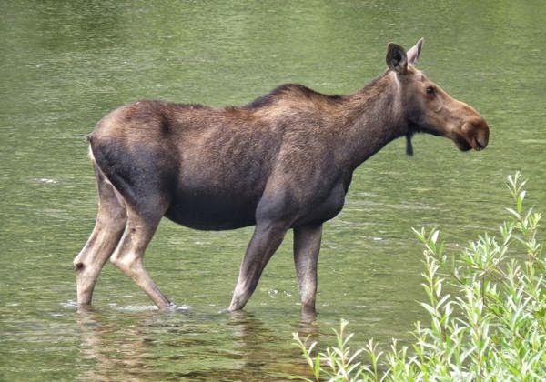 Moose standing in water