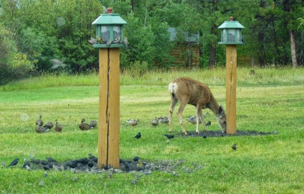 Deer feeding by lodge