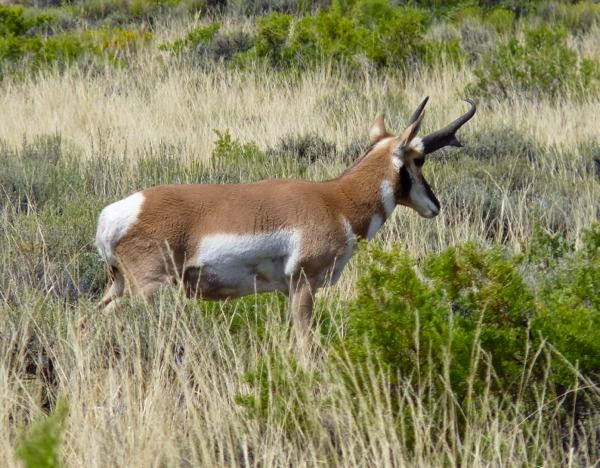 Antelope posing in high grass