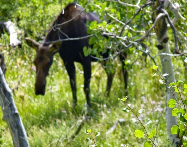 Moose standing amid trees