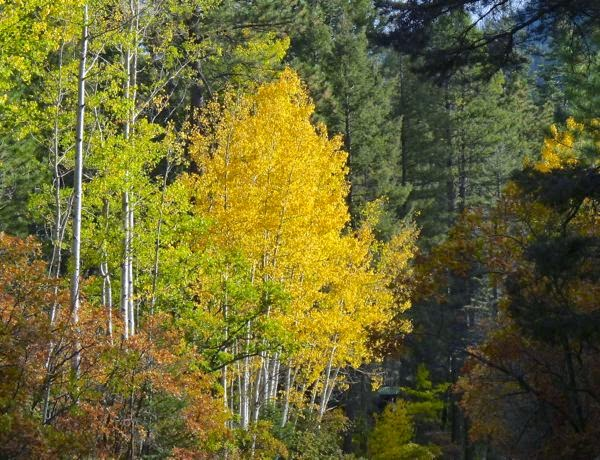 Golden aspen trees in forest