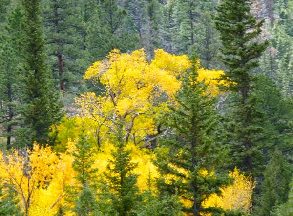 Golden aspen and deep green pine trees