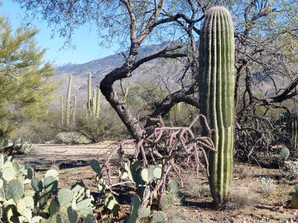 Saguaro, cholla and prickly pear