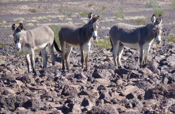 Three burros in the desert