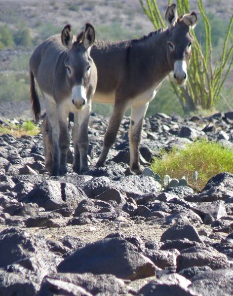 Two burros with ocotillo