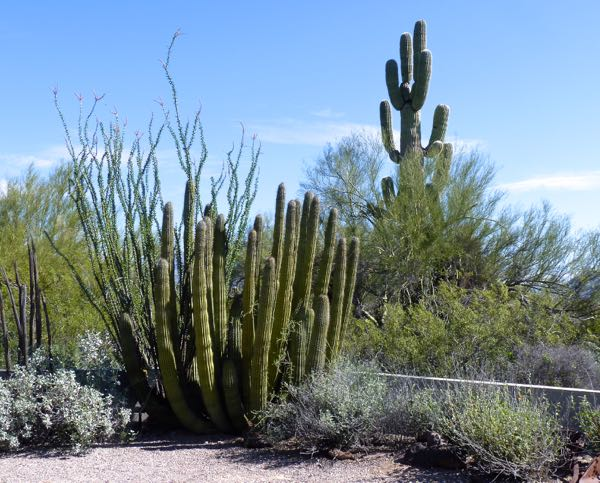 Organ pipe, ocotillo and saguaro cacti