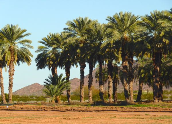Date palm trees at Dateland