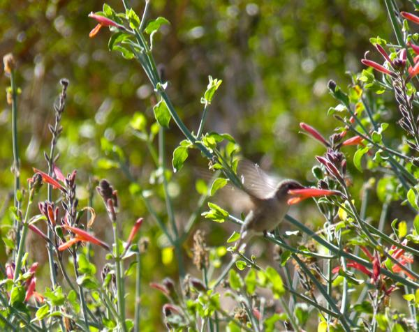 Hummingbird in a bush