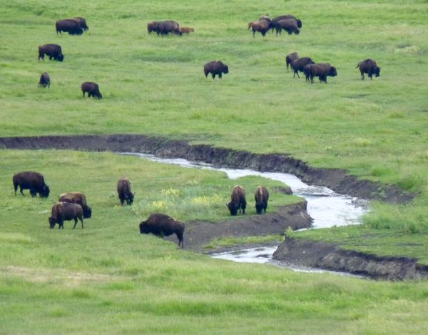 Bison, creek, field