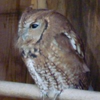 Nature Station-LBL, Great Horned Owl